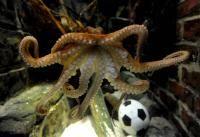 Новости футбола: Чтобы умер чертов осьминог Пойль